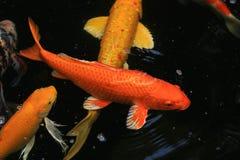 Natación de los pescados de Koi en la charca Imágenes de archivo libres de regalías