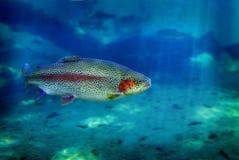 Natación de los pescados de la trucha Fotos de archivo
