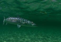 Natación de los pescados del Barracuda en el océano Imagen de archivo libre de regalías