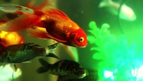 Natación de los pescados del oro en el acuario, pescado en el acuario almacen de metraje de vídeo