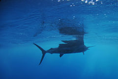 Natación de los pescados del pez volador en el océano Fotografía de archivo libre de regalías