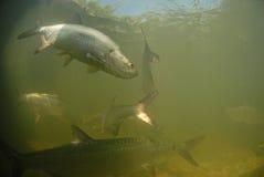 Natación de los pescados del tarpón en el océano Imagen de archivo