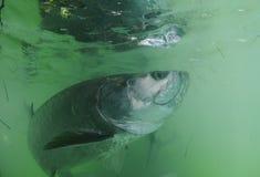 Natación de los pescados del tarpón subacuática Imagenes de archivo
