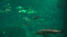 Natación de los pescados en acuario metrajes