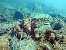 Natación de los pescados entre coral de la playa del pompano foto de archivo
