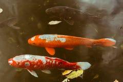 Natación de los pescados de Koi del japonés en la charca situada en Meiji Jingu Inner Garden en Tokio, Japón imágenes de archivo libres de regalías