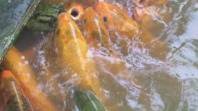 Natación de los pescados de la carpa en la charca en granja de pescados Natación de la carpa de Koi en agua en la granja almacen de metraje de vídeo