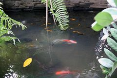 Natación de lujo colorida de los pescados en el agua fotos de archivo