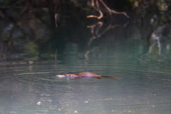 Natación de Platypus alrededor Imágenes de archivo libres de regalías