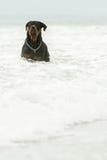 Natación de Rottweiler del varón adulto en el océano Foto de archivo libre de regalías