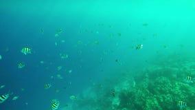 Natación de sargento Majors en las aguas tropicales Maldivas metrajes