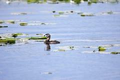 natación De varios colores-cargada en cuenta del colimbo en el lago fotos de archivo libres de regalías