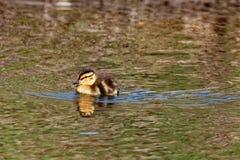 Natación del anadón del pato silvestre Imagen de archivo