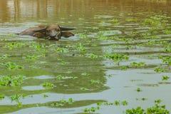 Natación del búfalo en el pantano en el pueblo tailandés de la protección del búfalo fotos de archivo