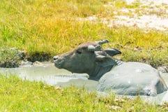 Natación del búfalo en la charca Fotografía de archivo