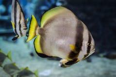 Natación del Batfish fotos de archivo