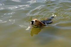 Natación del beagle Imagen de archivo libre de regalías