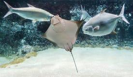 Natación del bonasus del Rhinoptera del rayo de Cownose entre pescados Los rayos de Cownose tienen lengüeta en la cola y el venen fotos de archivo
