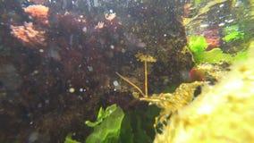 Natación del camarón en el mar metrajes