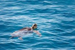 Natación del caretta del Caretta en el mar fotos de archivo