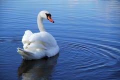 Natación del cisne fotos de archivo libres de regalías
