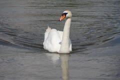 Natación del cisne Foto de archivo