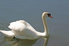 Natación del cisne Fotografía de archivo libre de regalías
