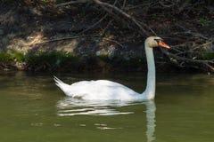 Natación del cisne cerca de la costa del río de Dunav fotos de archivo
