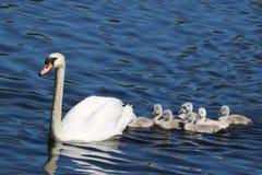Natación del cisne con los pollos del cisne imágenes de archivo libres de regalías