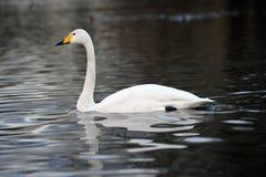 Natación del cisne de Whooper a través de un lago Imagen de archivo libre de regalías