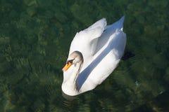 Natación del cisne en agua del lago Imagen de archivo