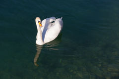 Natación del cisne en agua transparente del lago Fotos de archivo libres de regalías