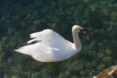 Natación del cisne en agua verde y transparente del lago Imagen de archivo libre de regalías