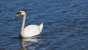 Natación del cisne en aguas azules almacen de metraje de vídeo