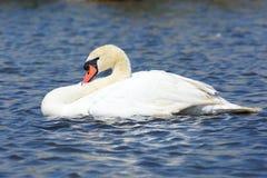 Natación del cisne en el agua imagen de archivo libre de regalías