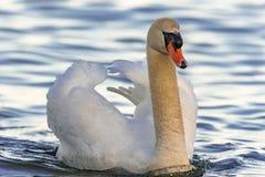 Natación del cisne en el lago imagenes de archivo