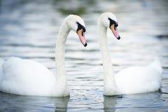 Natación del cisne en el lago fotos de archivo