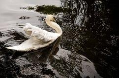 Natación del cisne en el lago fotografía de archivo libre de regalías
