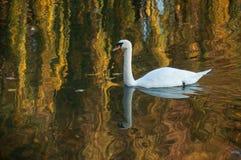 natación del cisne en el lago en la reflexión otoñal de la puesta del sol fotos de archivo libres de regalías
