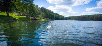 Natación del cisne en el lago lituano rural escénico imagen de archivo libre de regalías