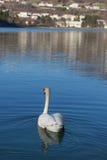 Natación del cisne en el lago Restello Fotografía de archivo libre de regalías