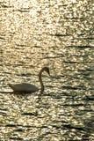 Natación del cisne en el mar Báltico Imágenes de archivo libres de regalías