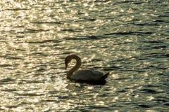 Natación del cisne en el mar Báltico Imagen de archivo