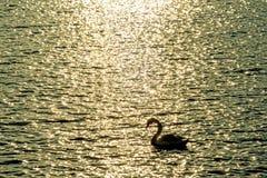 Natación del cisne en el mar Báltico Foto de archivo