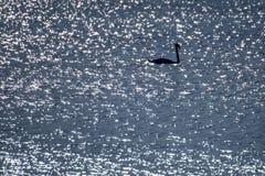 Natación del cisne en el mar Báltico Fotografía de archivo