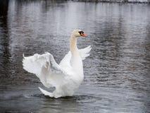 Natación del cisne en el río fotos de archivo