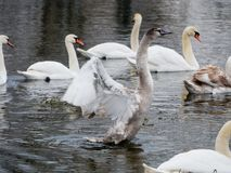Natación del cisne en el río imagen de archivo libre de regalías