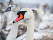 Natación del cisne en el río imagen de archivo
