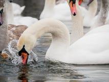 Natación del cisne en el río imagenes de archivo