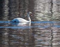 Natación del cisne en el río Fotografía de archivo libre de regalías